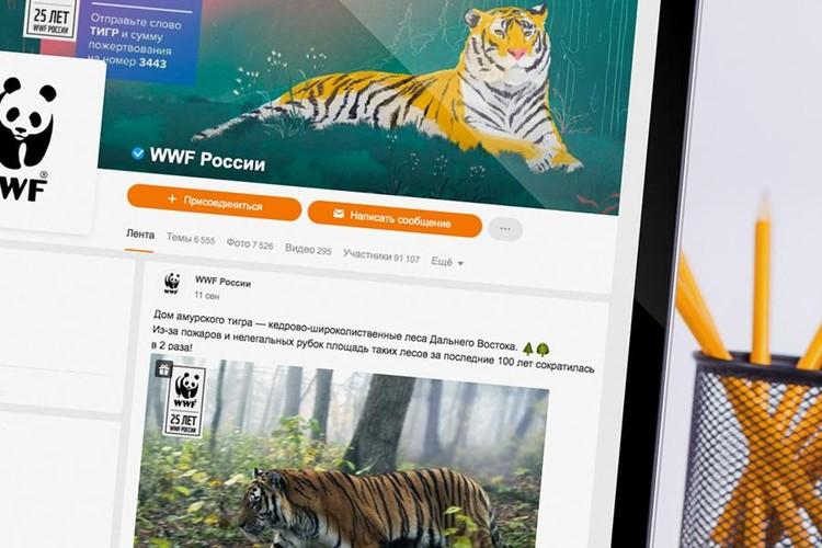 Ко Дню тигра в Одноклассниках появились видео с амурскими тиграми в живой природе