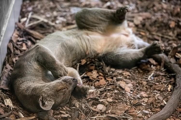 Фоссы приехали в Сибирь из Великобритании. Фото: Новосибирский зоопарк.