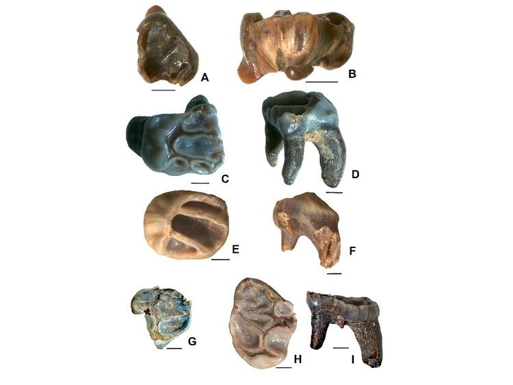 Зубы нового вида летяги. Фото ФНЦ Биоразнообразия ДВО РАН