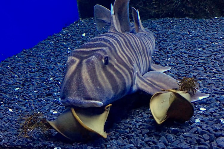 Процесс появления яйца у зебровидных акул занимает около 5-6 часов