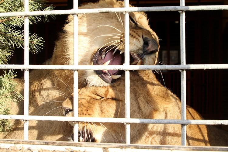 Львы впервые будут зимовать вместе.