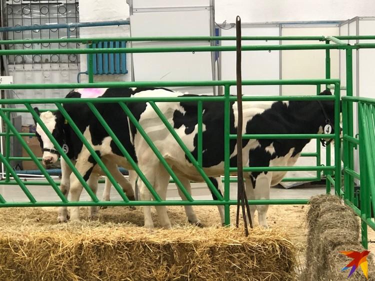Коровы голштинской породы