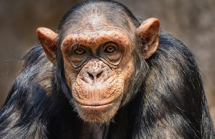 Кто бы мог подумать: шимпанзе умнее австралопитека.