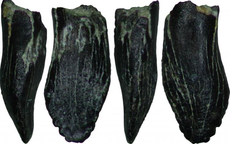 Зубы детеныша завропода (Macronaria) из Тээтэ