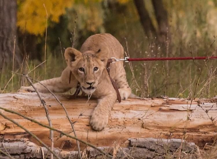 Отдавать в зоопарк или цирк львицу не хотелось.
