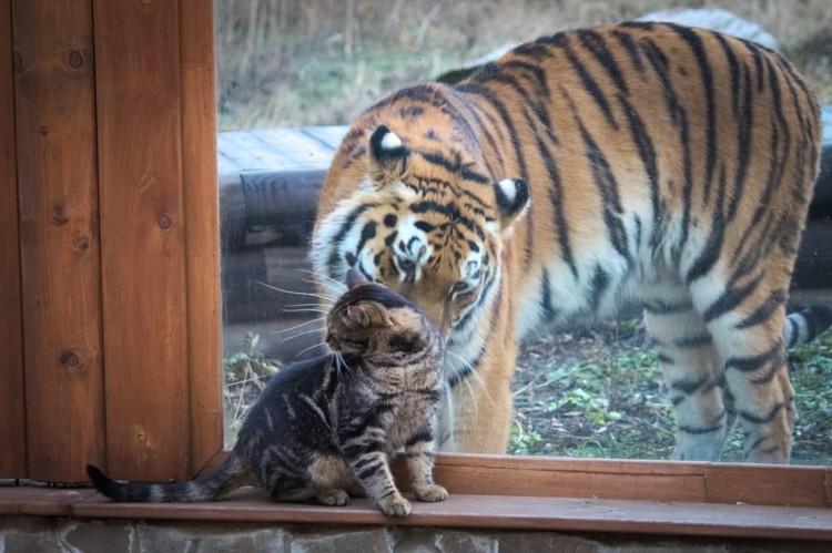 Котофей Василий не растерялся и сразу же ответил тигрице взаимностью. Фото: zoopark-rostov.ru