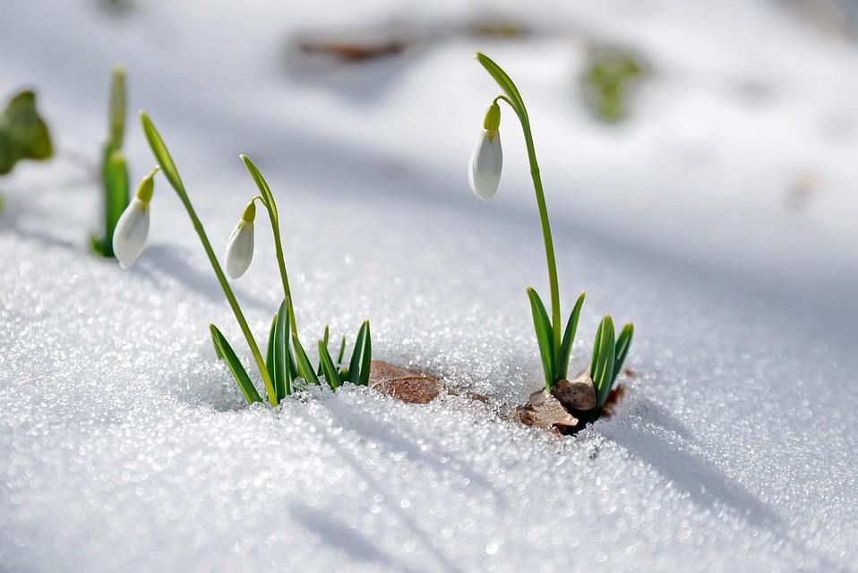 Подснежник - краснокнижное растение Фото: Юрий ЮГАНСОН