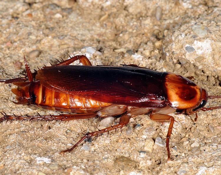 Среднеазиатский таракан