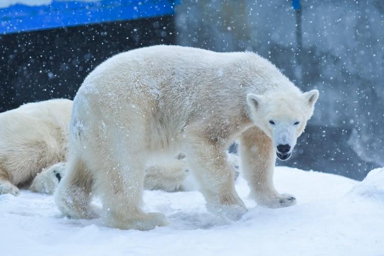 Медведи откровенно кайфовали от падающего снега.