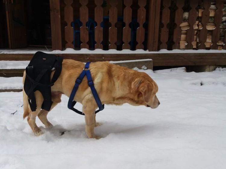 Лабрадор учится заново ходить. Фото: Ирина Соина/FB
