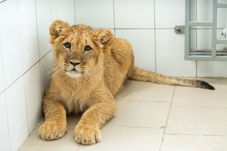 Львенка волгоградские ветеринары назвали Марик. Фото администрации ВО.