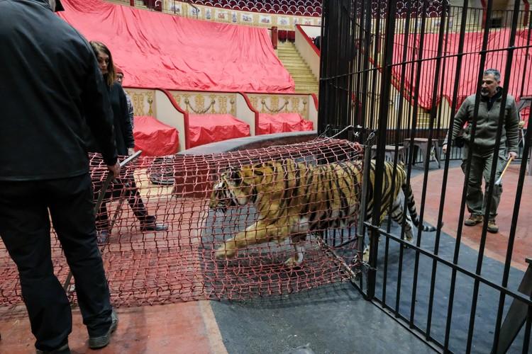 На карантине оказались даже тигры - в том числе любимец Давио Тоньи, годовалый тигренок Кинг.
