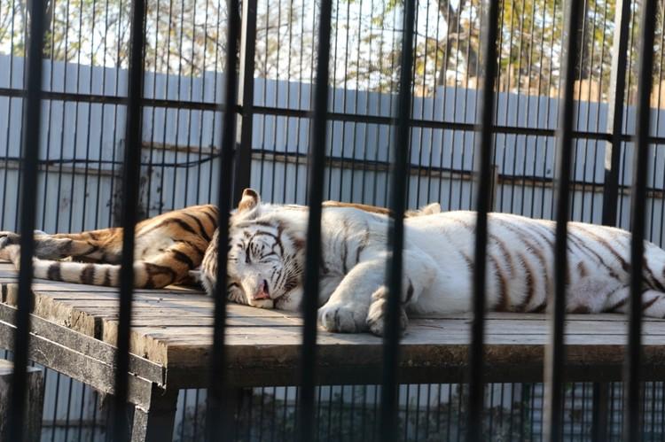 Амурский тигр - царь тайги. Чтобы прокормить такого крупного хищника, нужно много свежего мяса.