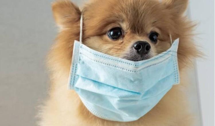 Шпиц, у которого нашли коронавирус, перепугал многих владельцев домашних животных.