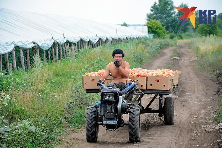 Оставшись без гастарбайтеров, наше сельское хозяйство столкнулось с жесточайшим дефицитом рабочих рук