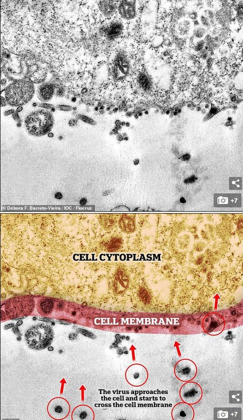Коронавирус проникает в клеточную мембрану. - первая часть процесса заражения