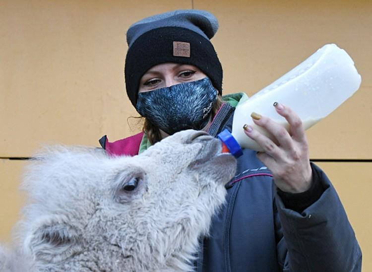 Зоолог Марина Байзарова кормит молоком новорожденного двугорбого азиатского верблюжонка