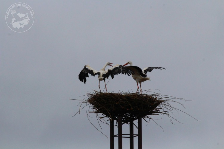 Две самка тут же оккупировали расположенное на высоте 12 метров гнездо и начали выяснять отношения, кому в нем жить.