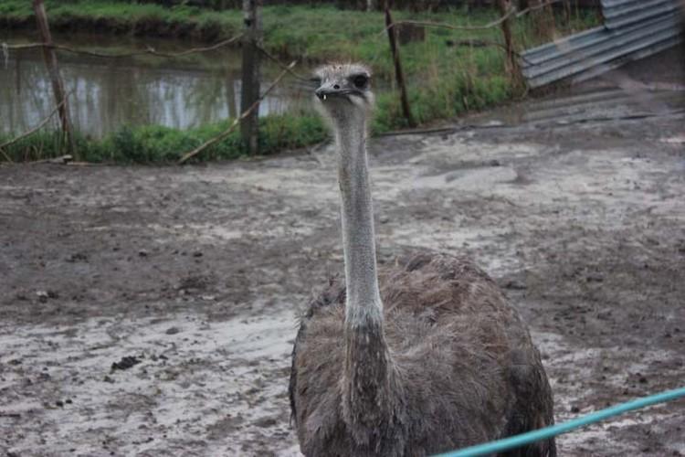 Страус - самая крупная птица на Земле