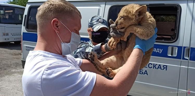 Львенок был сильно истощен.