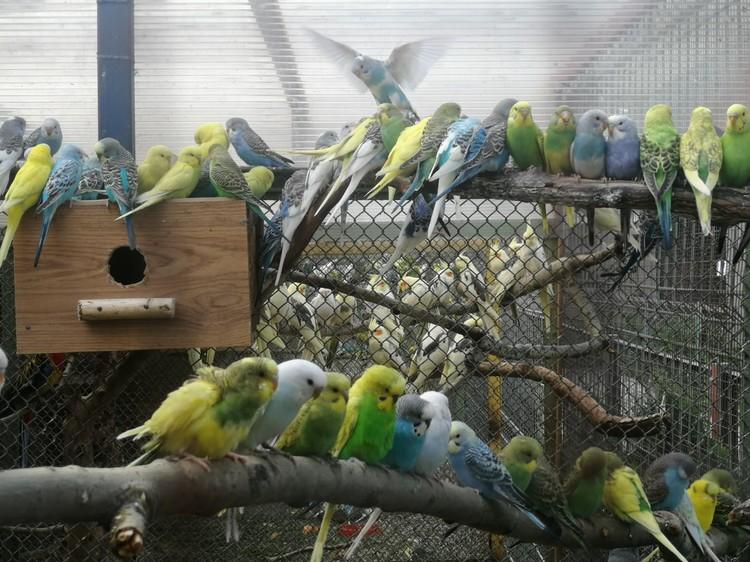 Волнистые попугаи радуют посетителей. Фото: Жлобинского зоопарка