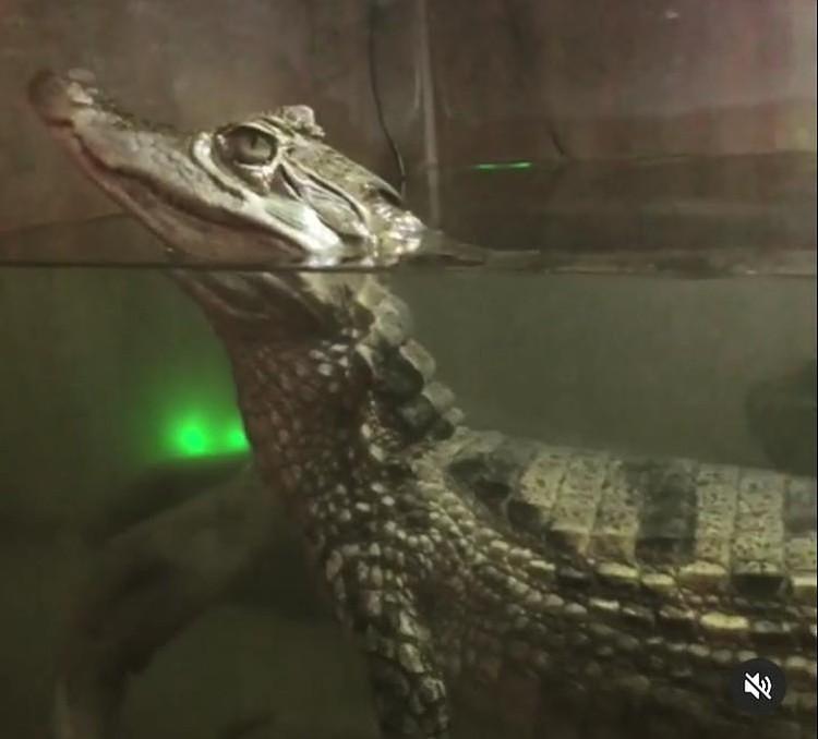 Древняя рептилия ест редко - раз в неделю кусок мяса или пару рыбин. Фото: Предоставлено героями материала