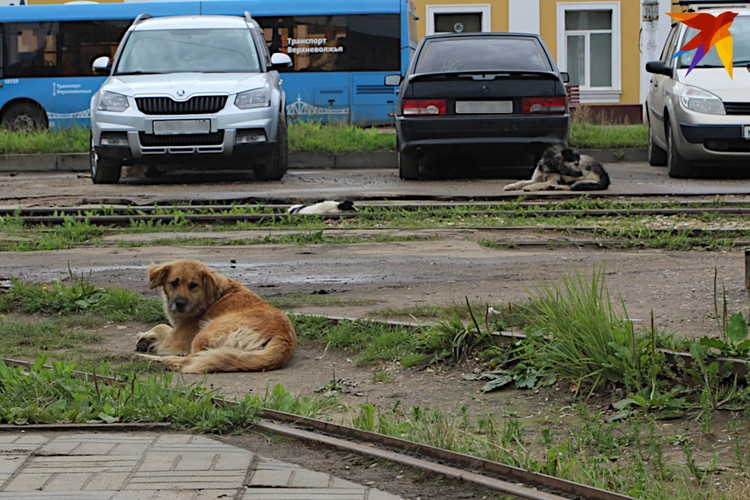 Бродячие собаки не ждут возвращения трамвая - им хорошо и так.