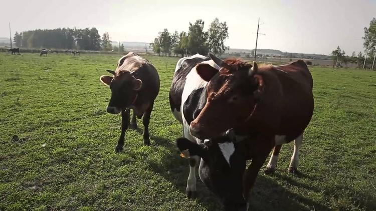 И доятся коровы тоже — когда хотят. Фото: АО «Россельхозбанк»