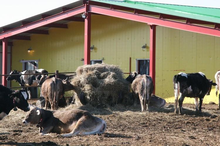 Стадо коров на вольном выпасе насчитывает более 300 голов. Фото: АО «Россельхозбанк»