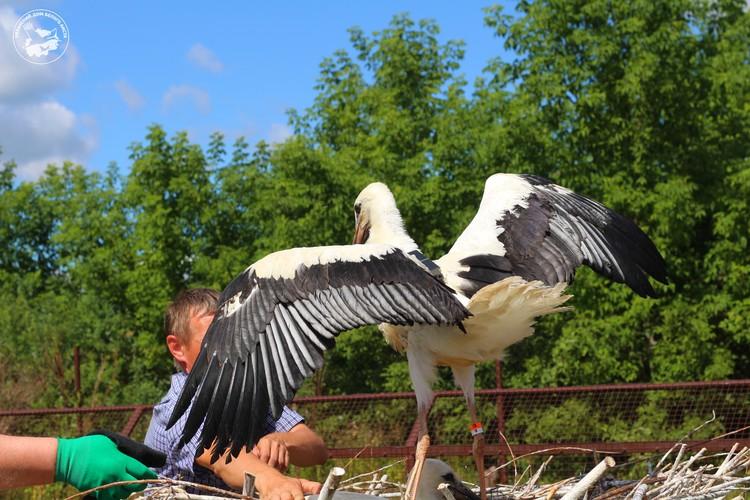 Пока орнитологи ловили птенцов, они кричали и активно защищались.