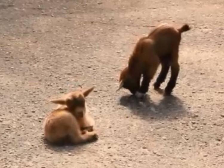 Гуляют малыши под неусыпным контролем мамы-козы