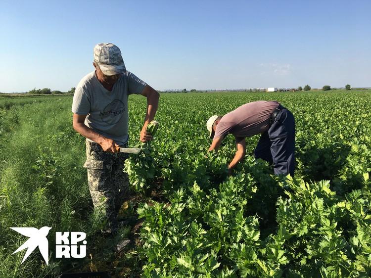Из-за закрытых границ в страну не приехали сотни тысяч мигрантов, работавших на полях. Найти им замену среди местных предприниматели не могут