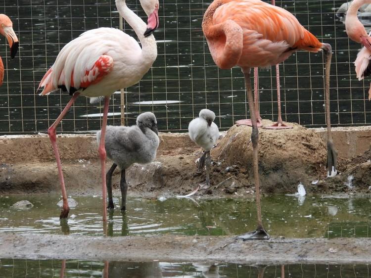 С середины июня стали вылупляться птенцы красных и розовых фламинго. Уже появился на свет один розовый фламинго и четверо красных. Но пока у них у всех мягкое серое оперение, менять окрас будут через несколько месяцев. Фото: Московский зоопарк