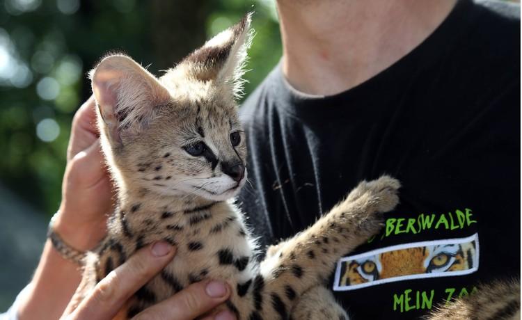 Сервалов приручают и держат как домашних кошек