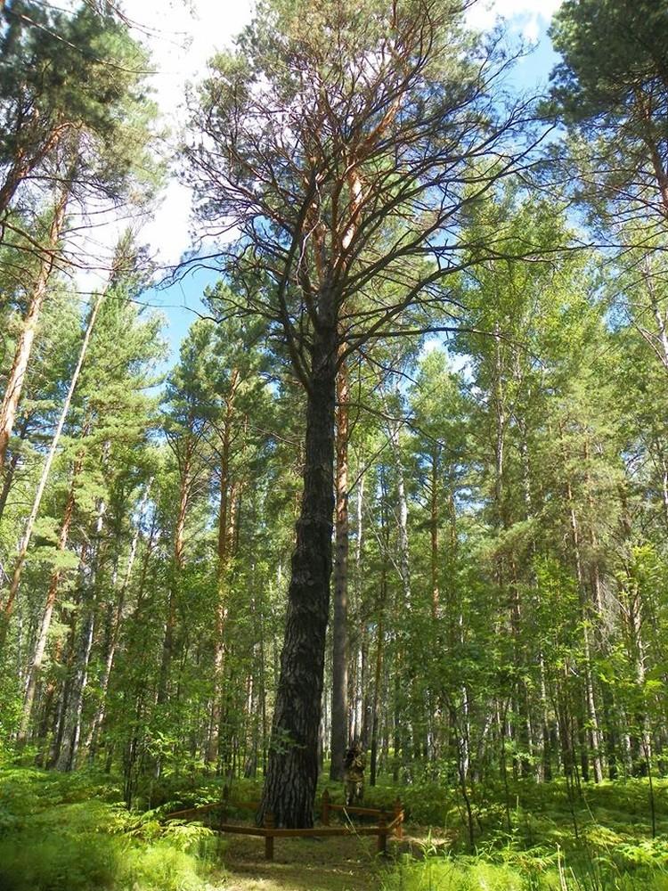 """Сосна выделяется среди окружающих деревьев. Фото: пресс-служба национального парка """"Шушенский бор"""""""