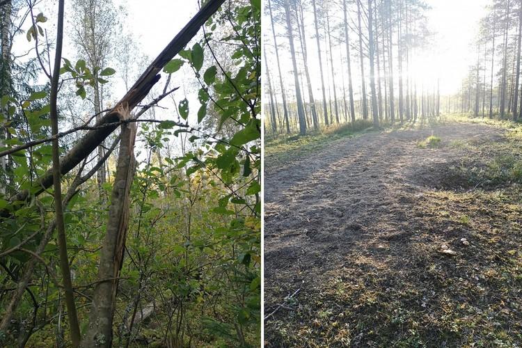 Во время гона животные ломают деревья и устраивают бои на лесных полянах. Фото: vk.com/kazdoytvaripopare