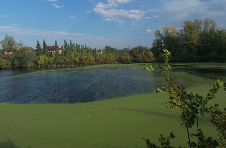 Озеро на территории дендросада заросло кустами, камышом и тиной.