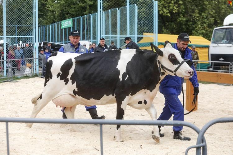 В конкурсе на звание лучшей коровы страны участвуют представительницы всех областей Беларуси