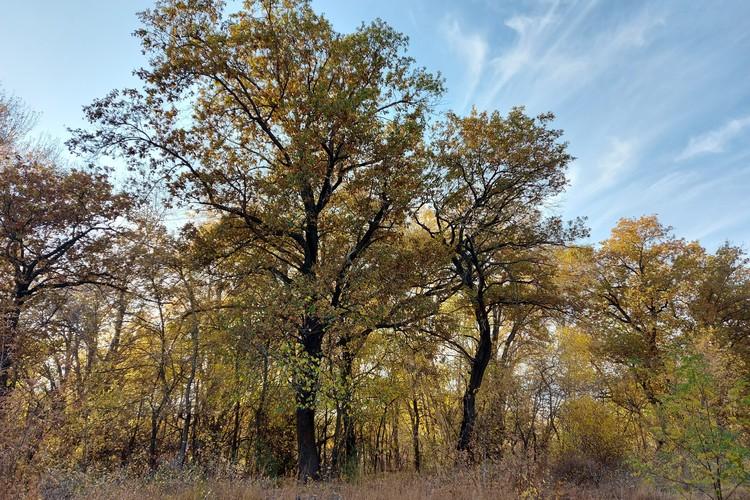 Эти дубы и другие деревья пойдут ппод снос.