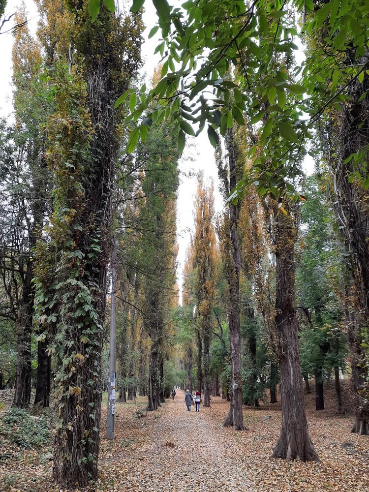 Аллея тополей забрасывает листвой прохожих