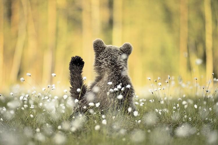 Амит Эшель (Финляндия) «Детеныш бурого медведя». Категория «Портреты животных». Фото: Amit ESHEL