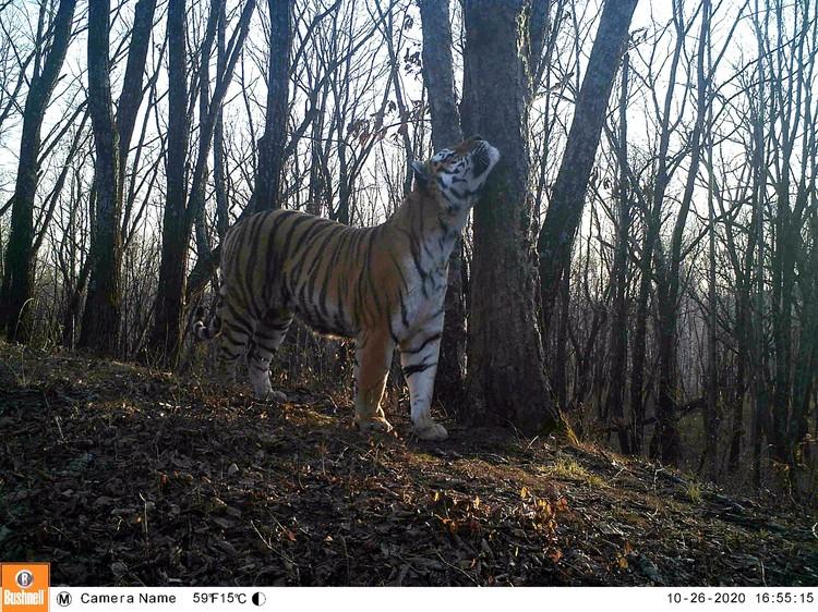 В отличие от отца Бориса, тигр Гром неоднократно попадался в фотоловушки