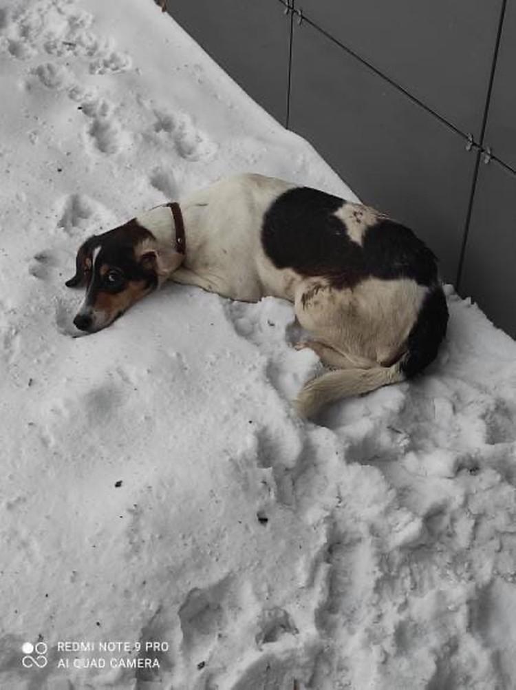 Стеша попала на улицу - и в тот же день ее сбила машина. Фото: центр защиты животных «Бездомный Пес. Соседи».