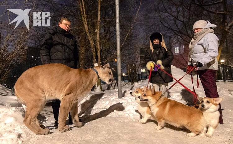 Местные собаки принимают пуму за собрата.