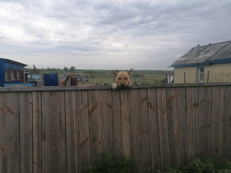 Из всей дружной и большой семьи дома остался только общительный пес, который не понимает, куда все исчезли.