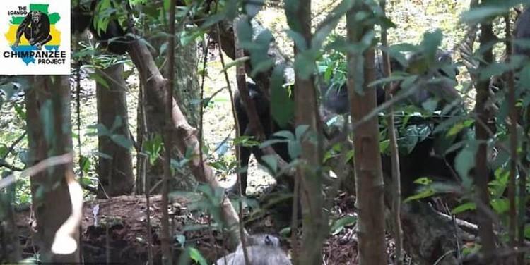 Шимпанзе убивают детеныша гориллы.