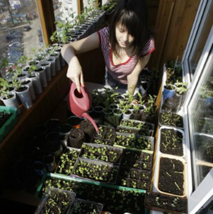 Крохотный росток станет крепким стеблем, плодоносящим все лето.