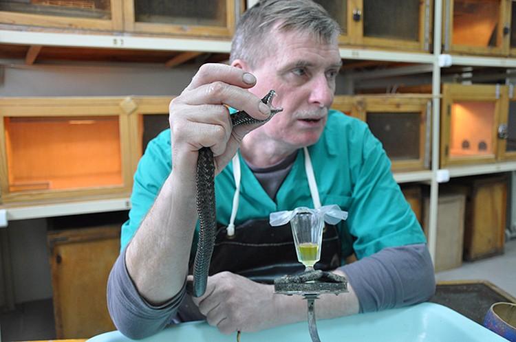 Герпетолог Александр Писарев рассказал, что во время «дойки» гадюка может лишиться зубов… Но ничего страшного - вырастут новые.
