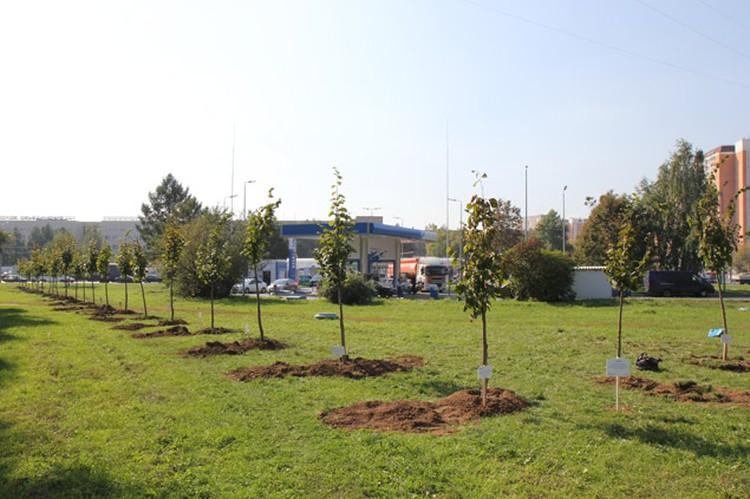 В столице стало на 30 молодых деревьев больше. Фото: ЗАО «Газпромнефть-Северо-Запад».