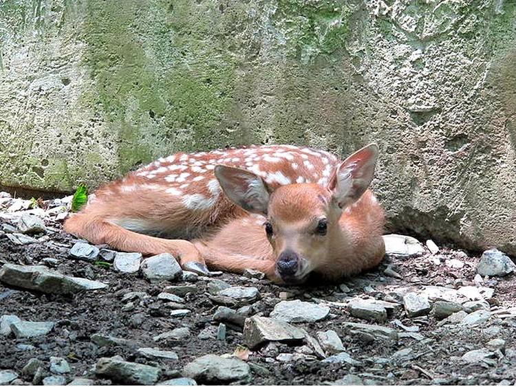 Родившиеся оленята настоящие богатыри - сразу после появления на свет крепенько стояли на ногах. Фото: пресс-службы Кавказского заповедника